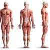 gruppi-muscolari